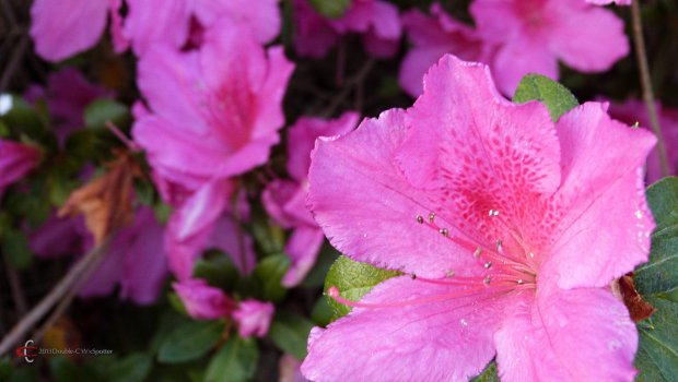Pink azalea, scientific name Rhododendron periclymenoides.